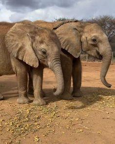 Baby Elephant Video, Cute Baby Elephant, Cute Baby Animals, Lucerne, Cheese Ball, Balanced Diet, Tortillas, Acacia, Elephants