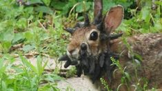 Outdoors Discover Viral Internet Frankenstein rabbit is a modern-day jackalope (Photo: Gunnar Boettcher / AP) Frankenstein Stuffed Animals Animal Kingdom Rabbit Gif Wild Rabbit Mysterious Universe Animals And Pets Odd Animals Natural Disasters Animal Kingdom, Papillomavirus, Animals And Pets, Cute Animals, Odd Animals, Ugly Animals, Strange Animals, Creepy, Scary