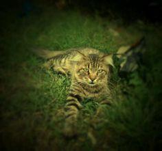 tavuk bekleyen kedi