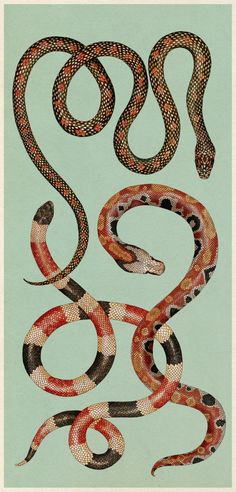 Snakes illustration by Katie Scott from Animalium, a children's book: