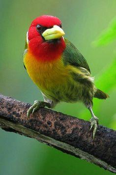Eubucco bourcierii / Torito cabecirrojo / Red-headed Barbet (male) - Pueblo Rico, Risaralda, Colombia