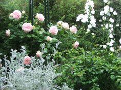 association rosier et plantes vivaces