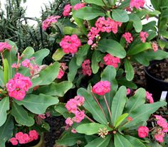 Euphorbia Lipstick: Grows to 1 meter. Prefers a warm position with plenty of light and free draining soil.
