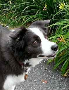 Border Collie....super smart breed, great for agility training.