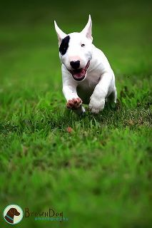 this is the type of dog i want when i can afford it! i love english bull terriers!