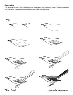 Drawing realistic Birds Step by Step | Mockingbird Drawing Lesson