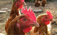 10 Fascinating Facts About Chickens /// I am pinning this for all the people who think chickens are stupid.
