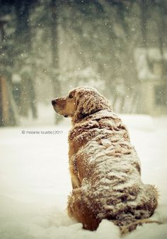 snow dog. Golden Retriever