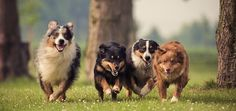 5 Steps to Get Reliable Recall in a Multi-Dog Household | Dogster