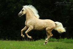 Welsh Cobs - Equine Photography Katarzyna Okrzesik
