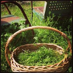 Cleavers. A spring tonic for the lymphatic and urinary systems.     I harvested these today to make a tincture. Cleavers is cooling and drying. It helps clear the lymphatic and urinary systems. It is a good spring tonic herb. Juice it or use in a green smoothie.