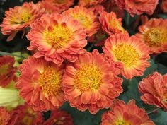 Lovely pinky orange Mums and a great post on words at http://www.bubblews.com/news/2227663-my-diligent-words-words-in-english-and-spanish-that-are-similar-list-28 Read more.