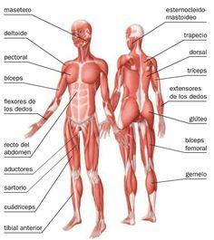 Las 22 Mejores Imágenes De Sistema Muscular Sistema