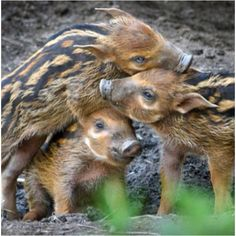 This one's for you @Melissa Squires Frazer......boars are so NOT boring ;)