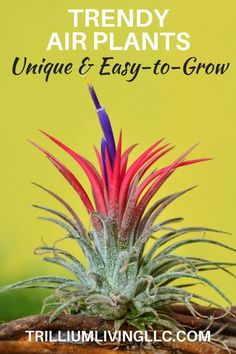Air plants (Tillandsia) grow without soil and are easy to care for making them great plants for home and office. Air plants (Tillandsia) grow without soil and are easy to care for making them great plants for home and office. Air Plants Care, Plant Care, Outdoor Plants, Garden Plants, Succulents Garden, Indoor Herbs, Moss Garden, Succulent Planters, Plants Indoor