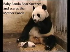 Baby Panda Bear Sneezes and scares Mama Panda.  Even 10 times later its still funny!!!