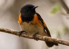 American Redstart: 21 April 2017, Shenandoah NP; Dark Hollow Falls, mostly cloudy, 76 degrees, humid