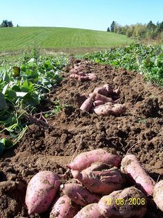 Growing sweet potatoes could not be easier.  They typically only require 100 days of frost-free growing and can produce in many climates.