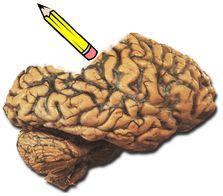 El olvido es regulado de manera consciente y activa en el cerebro para funcionar correctamente