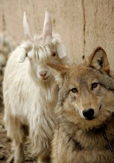 OMG, I think the second coming is near! Wolf and Ram, best buds.