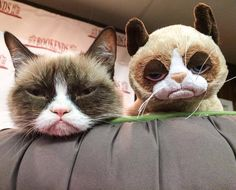 Grumpy Cat with Grumpy Plushie Dec 2013 Grumpy Cat Quotes, Grumpy Cat Humor, Cat Memes, Grumpy Cats, Siamese Kittens, Cats And Kittens, Owning A Cat, Cat Life, Spirit Animal