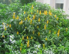 Tropical Flowers for Temperate Gardens — Yellow Shrimp Plant Tropical Backyard, Tropical Plants, Tropical Flowers, Yellow Flowers, Backyard Landscaping, Outdoor Plants, Outdoor Gardens, Planting Succulents, Planting Flowers