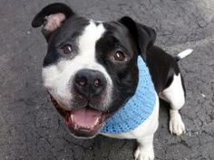 Manhattan Center   POLYJUICE - A0995911   MALE, BLACK / WHITE, AMERICAN STAFF MIX, 2 yrs STRAY - STRAY WAIT, NO HOLD Reason STRAY  Intake condition NONE Intake Date 04/06/2014, From NY 11213, DueOut Date 04/09/2014, Medical Behavior Evaluation GREEN  https://www.facebook.com/photo.php?fbid=784587211554160&set=a.617938651552351.1073741868.152876678058553&type=3&theater