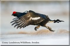 Black grouse playing ground has now started. | Conny Lundström - Vildmarksfotograf