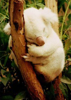 beautiful white koala sleeping