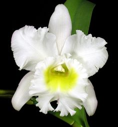 Blc. Meditation 'King's Ransom' | First blooming of this pla… | Flickr