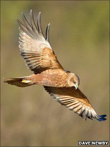 Marsh Harrier (circus aeruginosus) Minsmere, April 2012