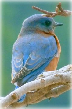 The Bluebird Outside My Window !