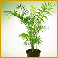 Die #Bergpalme, gehört mit zu den kleinsten Palmen.  Ihre Größe hält sich in Grenzen: 80 bis 100 cm, deshalb eignet sich die Bergpalme auch gut für kleine Räume, sie gedeiht fast überall.  http://www.gartenschlumpf.de/bergpalme/