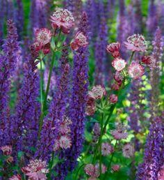 Astrantia carniolica 'Rubra': Zon of halfschaduw Bloei: juni-aug Hoogte: 40 cm Salvia nemorosa: Zon of halfschaduw, niet te nat Bloei: mei-sep Hoogte: 40-60 cm Terugknippen voor herbloei