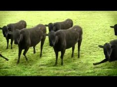 Trippy Videos - Cows & Cows & Cows. Watch this trippy video at trippy.me