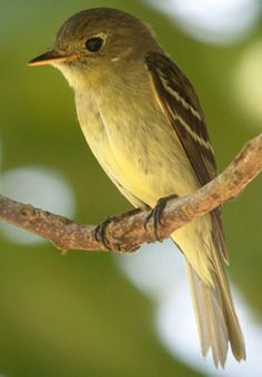 Yellow Bellied Flycatcher. Winters in Central America. Often seen in shaded coffee plantations. Migration to Middle & Eastern USA & Canada. Ground nests with forest moss & pine needles. Easts flying insects, and gleans from bug infested plants.
