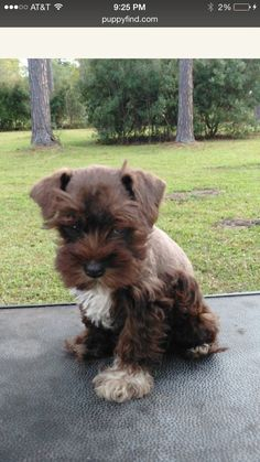 The new baby! A liver and white miniature schnauzer!!