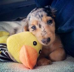 Dappled Doxie and Cuddly Toy Friend.
