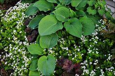 Skuggrabatt av Timjan och pioner: Myskmadra, funkia, rödbladig alunrot, astilbe, strutbräken och vit brunnäva.