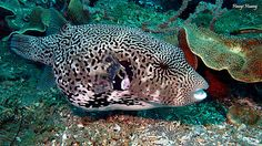 Map Puffer Scientific Name: Arothron mappa Dive site:masaplod sanctuary,Dauin...