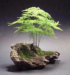 asparagus fern in rock-indoors here or use maidenhair fern outside - love - Bonsai - Plantio Bonsai Art, Bonsai Plants, Bonsai Garden, Air Plants, Garden Plants, Indoor Plants, Bonsai Trees, Indoor Gardening, Plantas Bonsai