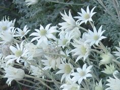 Actinotus helianthi, flannel flower herbaceous or shrubby plant reaching almost a metre in height. Australian Wildflowers, Australian Native Flowers, Wedding Bouquets, Wedding Flowers, Flannel Flower, Australian Native Garden, Spring Scene, Planting Flowers, Flower Gardening