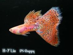 ALBINO GUPPIES RREA RED GRASS GUPPY. The picture fish is about 5 month old.