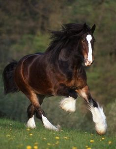 English Shire horse: In Medieval times, when personal armor was heavy, they were bred as war horses. Today, like Clydesdales in the US, the Shire is more famous in publicity for hauling branded beer wagons. www.lberger.ca/Leon_Berger/Novel__Horse.html