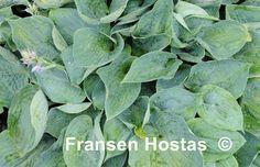 "Hosta Ah-ha-ha-bah: Round, corrugated blue leaves. A non-registered cultivar of Van Wade's ""American Indian Series"". Beautiful Flowers, Plants, Flowers, Hostas, Growing, Garden"