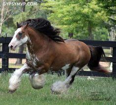 Gypsy Vanner Horse for Sale | Stallion | Golden buckskin blagdon Skewbald