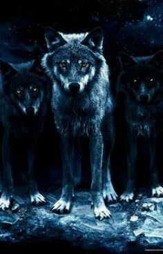A wolf doesn't concerns himself with the opinions of sheep. No wonder wolf is my. A wolf doesn't concerns himself with the opinions of sheep. No wonder wolf is my spirit animal. Wolf Love, Wolf Pictures, Animal Pictures, Beautiful Creatures, Animals Beautiful, Beautiful Images, Animals And Pets, Cute Animals, Wild Animals