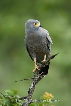 The African Harrier-Hawk, Harrier Hawk, or Gymnogene (Polyboroides typus) is a bird of prey. It is about 60–66 cm in length, and is related to the harriers. It breeds in most of Africa south of the Sahara.