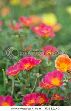 Moss roses