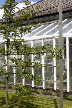 fruit tree trellis